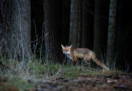 nimble: Fox (Vulpes vulpes) hunting in europe forest