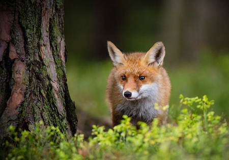 Fox (Vulpes vulpes) hunting in europe forest