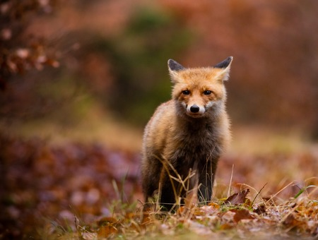 nifty: Fox (Vulpes vulpes) hunting in europe forest