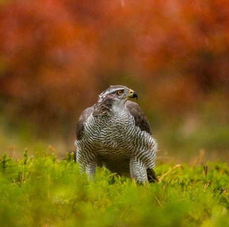 azor: Un azor macho aliment�ndose de conejo joven en el bosque. Foto de archivo