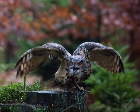 wise old owl: Eurasian Eagle Owl, close-up. Stock Photo