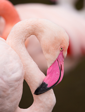 wader: A close up portrait of a pink flamingo.