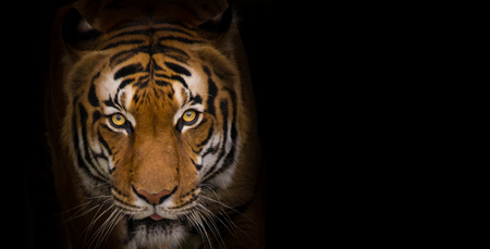 sumatran: Portrait of Sumatran Tiger close-up. Stock Photo