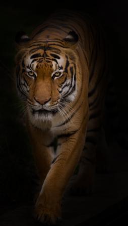 Portrait de tigre de Sumatra close-up. Banque d'images