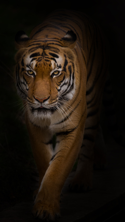 siberian: Portrait of Sumatran Tiger close-up. Stock Photo