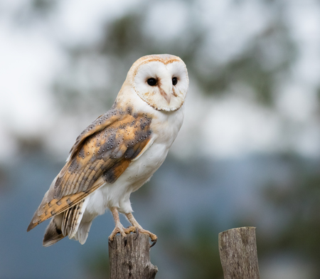 Portrait of a Barn Owl perches on a fence post.