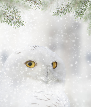 snow  snowy: snowy owl sitting on the snow. Portrait photo.