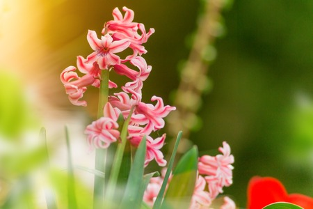 hyacinthus: Hyacinth plant with flowers (Hyacinthus orientalis)
