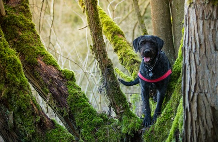 Beautiful mutt black dog Amy in forest, close-up.