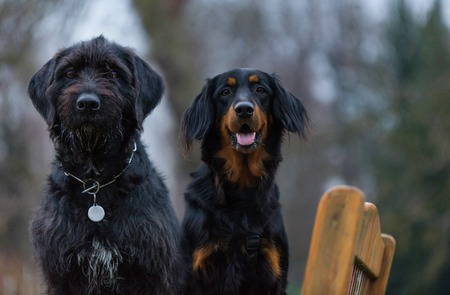 Beautiful mutt black dog and hovawart sitting on wooden benche, close-up.