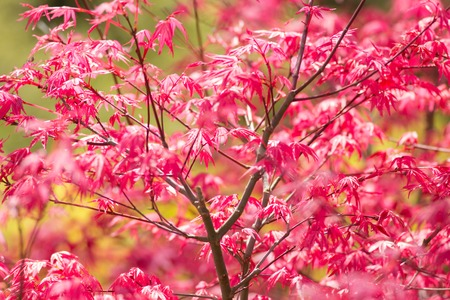 acer: Fresh Japanese Maple red leaves close-up background