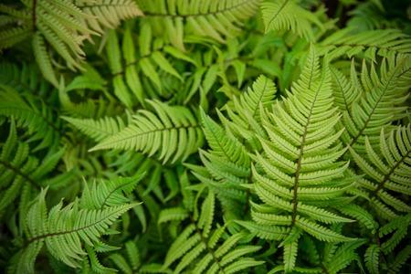 grünem Farn als Hintergrund, close-up.
