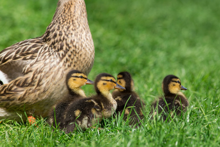 huddling: Mallard duck and her clutch of ducklings, close-up. Stock Photo
