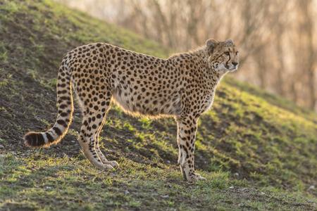 patrolling: Portrait of wild cheetah patrolling. Close-up.
