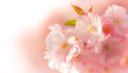 APPLE trees: Spring border background with pink blossom, close-up.