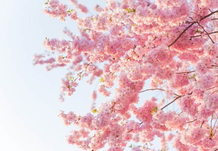 cherry blossoms: Spring border background with pink blossom, close-up.