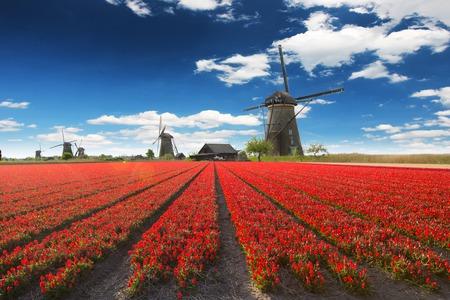 tulip: Windmill with beautiful tulip field in Holland.