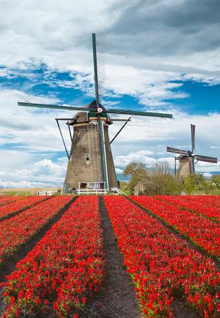flower fields: Windmill with beautiful tulip field in Holland.