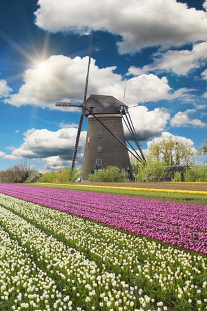 holland windmill: Windmill with beautiful tulip field in Holland.