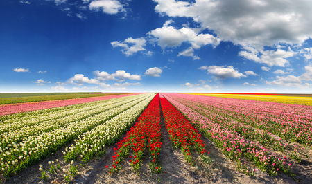 Tulip field with cloudy sky in Holland.