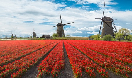holland: Windmill with beautiful tulip field in Holland.