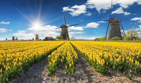 オランダの美しいチューリップ畑と風車します。 写真素材