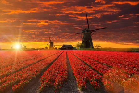 Windmolen met mooie tulp veld tijdens zonsondergang in Nederland.