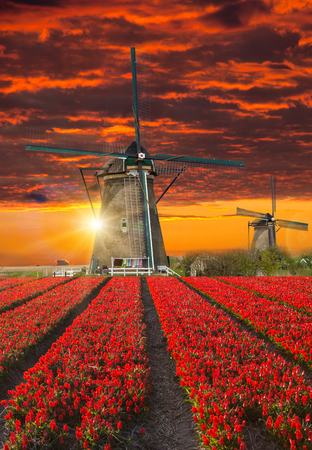 holland: Windmill with beautiful tulip field during sunset in Holland.