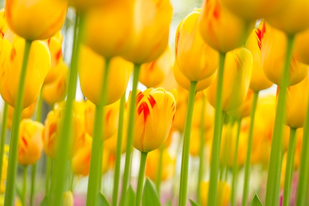 fields of flowers: Beautiful colorful tulips, spring background. Close-up.