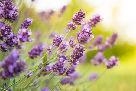 fragrant: Lavender Flowers, floral background, close-up. Stock Photo