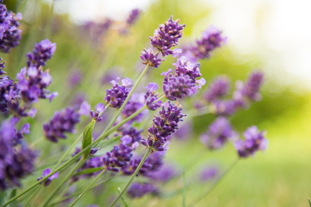 macros: Lavender Flowers, floral background, close-up. Stock Photo