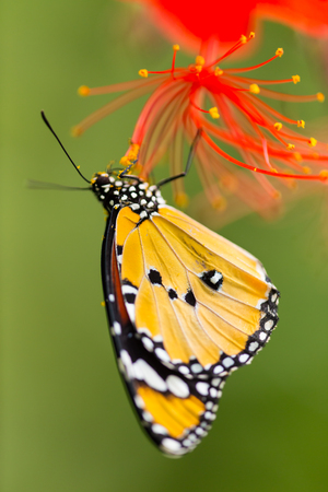 danaus: Beautiful Plain Tiger butterfly (Danaus chrysippus) perching on flower. Close-up.