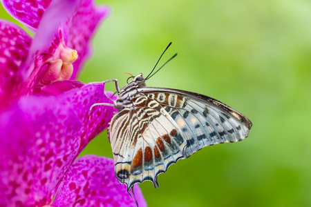 perching: Beautiful Charaxes castor castor perching on orchid flower. Close-up.