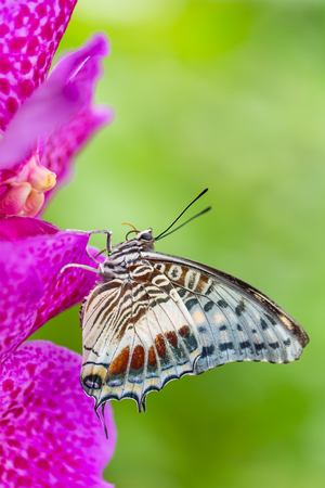 castor: Beautiful Charaxes castor castor perching on orchid flower. Close-up.