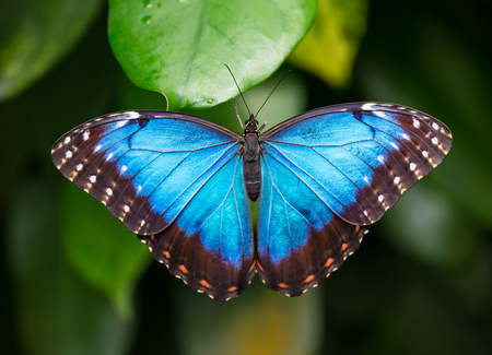 Blue morpho (morpho peleides) on green nature background, close-up. 版權商用圖片