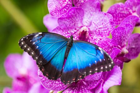 morpho: Blue morpho (morpho peleides) on green nature background, close-up. Stock Photo