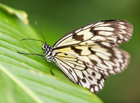 primeval forest: Paper kite (idea leuconoe) in primeval forest, close-up.