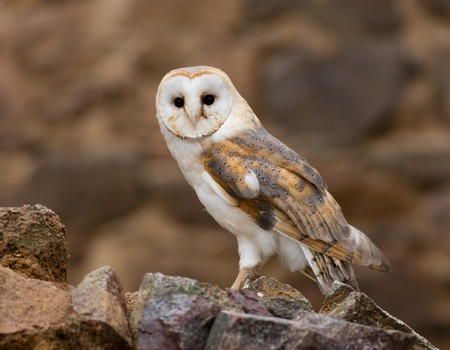 barns: A Barn owl in old castle ruins in morning houres.