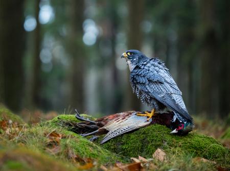 falco peregrinus: Bird of prey Peregrine Falcon (Falco peregrinus) with kill Common Pheasant on stone Stock Photo