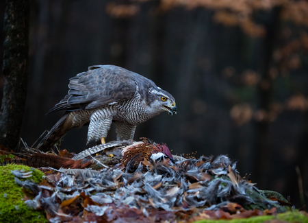 moss: A male Goshawk feeding on pheasant in forest. Stock Photo