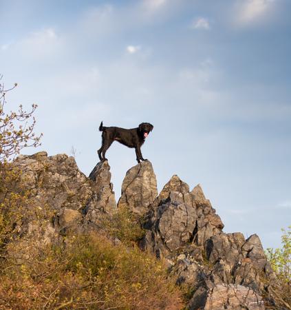 dog rock: Beautiful black dog posing on rock., close-up.