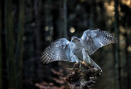 A male Goshawk (Accipiter gentilis) landing on the stump in forest during sunset. Wildlife photo.