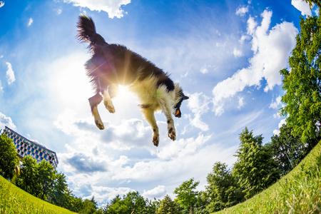 Border Collie springen van de bal. Mooie bewolkte hemel op achtergrond.