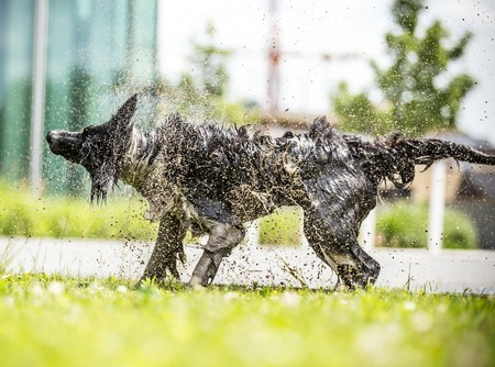 shake off: Border Collie shaking himself dry after a swim. Stock Photo