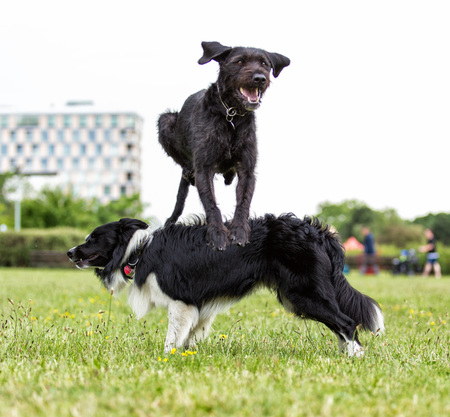Border Collie with jumping black dog in city park. Stock Photo