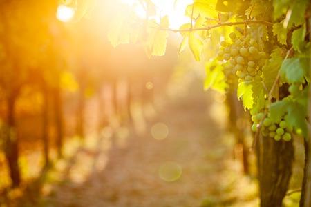 ブドウ (ピノ ・ ブラン) は、ぶどう畑、クロアチアの白人します。 写真素材