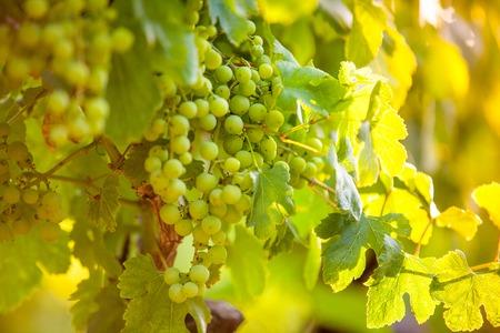 pinot: Whites grapes (Pinot Blanc) in the vineyard, Croatia.
