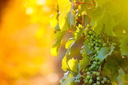 uvas: Claras de uva (Pinot Blanc) en el viñedo, Croacia.