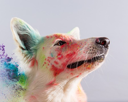 background color: The White Swiss Shepherd dog in a studio covered with color powder. Stock Photo