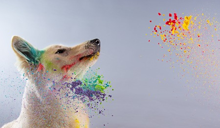 white dog: The White Swiss Shepherd dog in a studio covered with color powder. Stock Photo